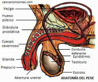 Anatomia do pênis
