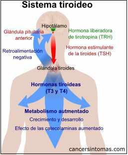sistema tiroideo